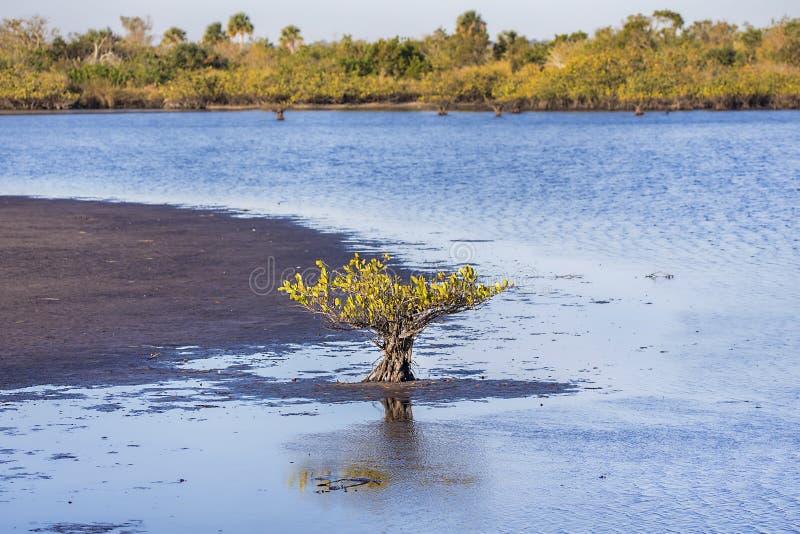 Ensamt träd för svart mangrove som växer i sjön arkivfoton