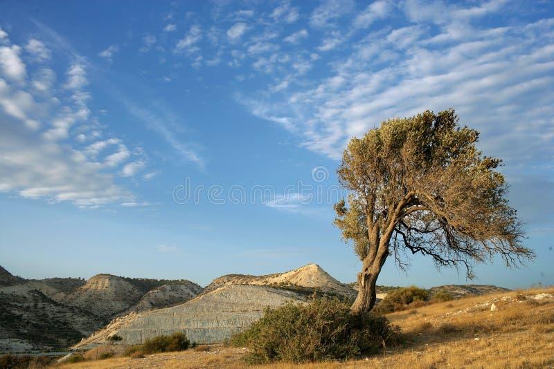 Ensamt träd i Cypern arkivbilder