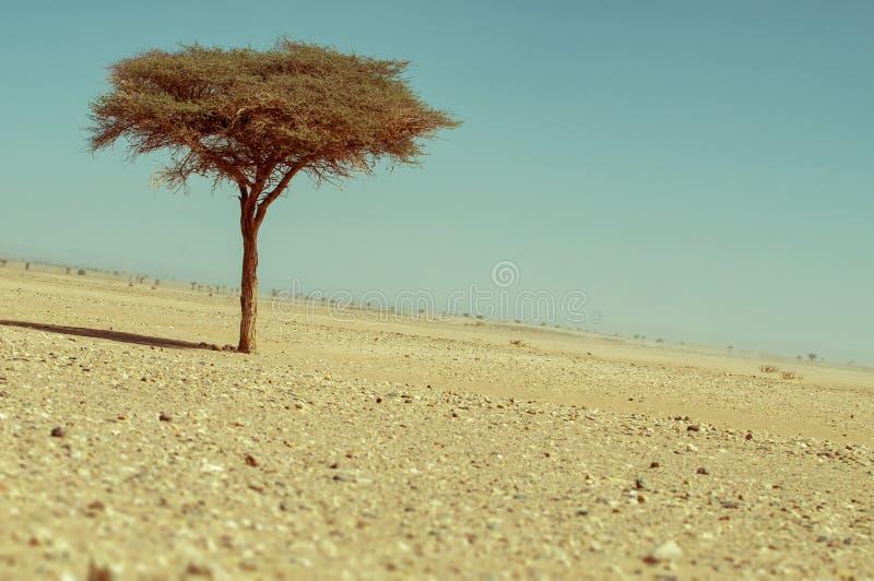 Ensamt träd i den marockanska öknen fotografering för bildbyråer