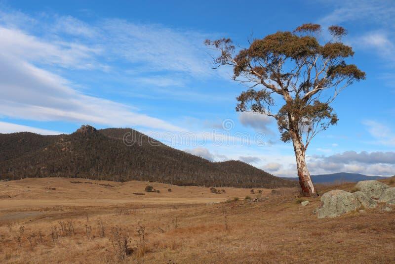 Ensamt träd i den Orroral dalen - Canberra arkivbild