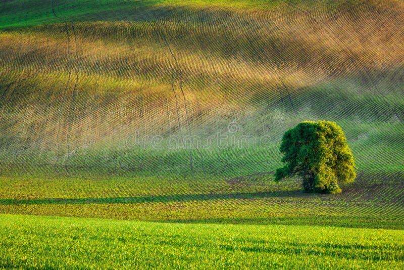 Ensamt träd i olling fält arkivfoton
