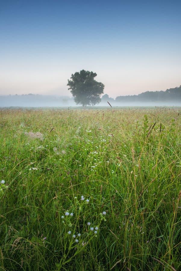 Ensamt träd i sommar med morgondimma fotografering för bildbyråer