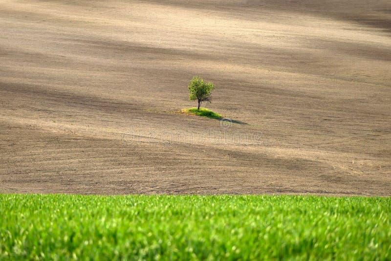 Ensamt träd i tid för Tuscany landskap på våren royaltyfri fotografi
