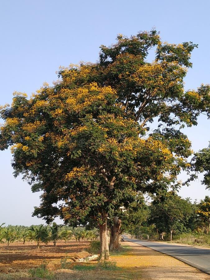 Ensamt träd med gula blommor på en solig varm dag royaltyfria bilder