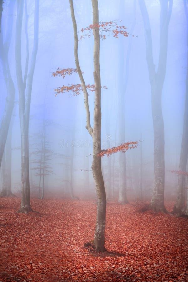 Ensamt träd med röda sidor i dimmig skog royaltyfria foton