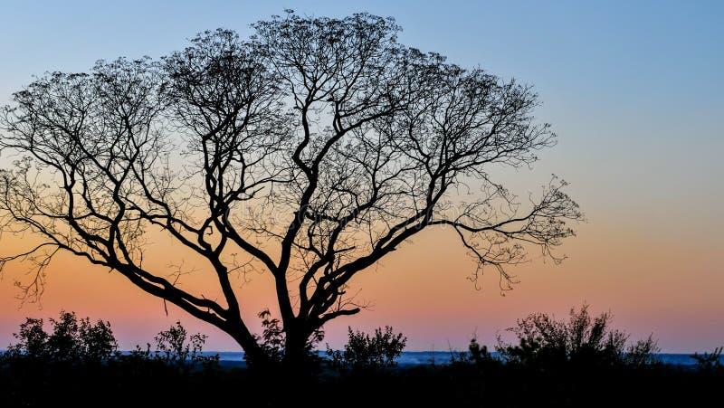 Ensamt träd mot solnedgången i Livingstone, Zambia arkivfoto