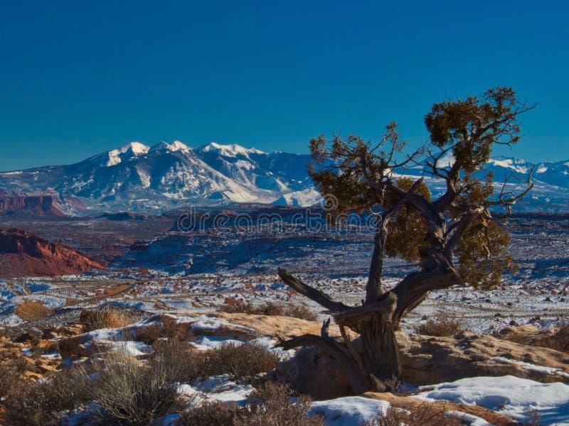 Ensamt träd på bågar i vinter arkivbilder