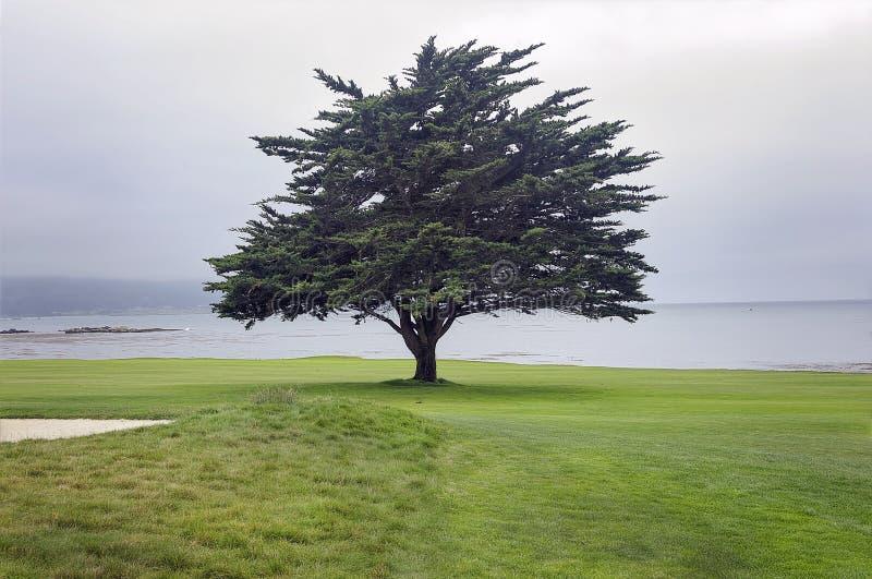 Ensamt träd på den Pebble Beach golfbanan längs den Monterey fjärden royaltyfria foton