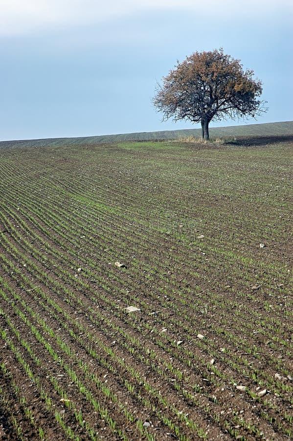 Ensamt träd på fältet royaltyfri fotografi