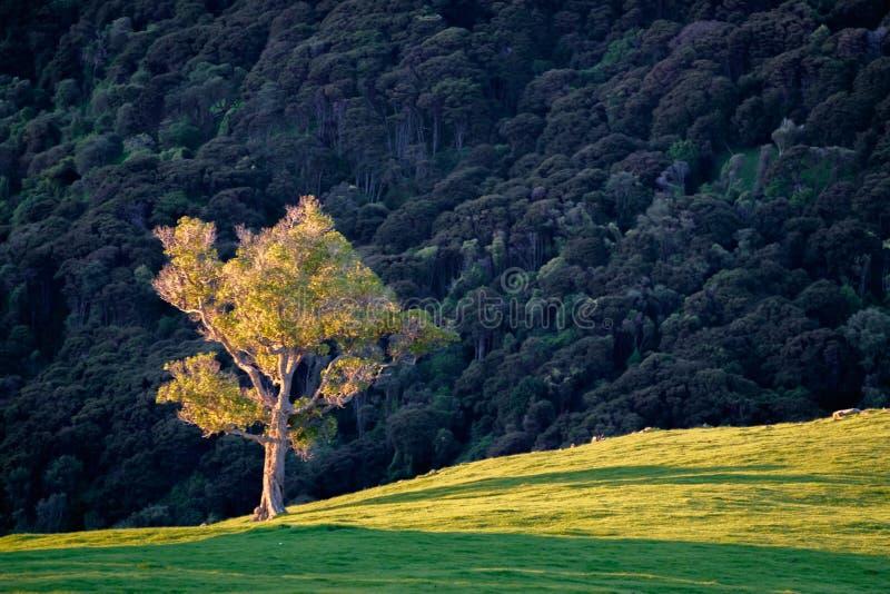 Ensamt träd på kullelutning royaltyfri foto