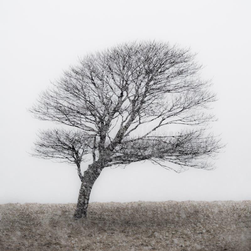 Ensamt tr?d p? Malham Tarn i sn?storm arkivfoton