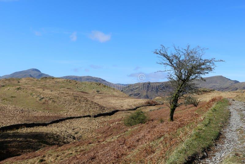 Ensamt träd på sidan av bergvandringsledet, Cumbria royaltyfria bilder