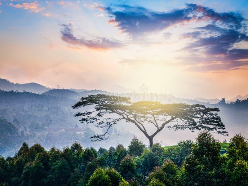 Ensamt träd på soluppgång i kullar arkivfoton