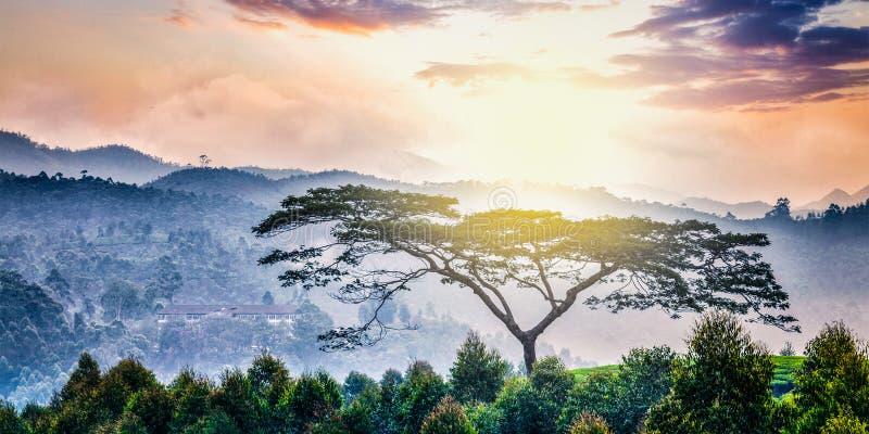 Ensamt träd på soluppgång i kullar arkivbilder
