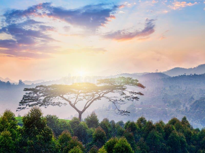 Ensamt träd på soluppgång i kullar arkivfoto