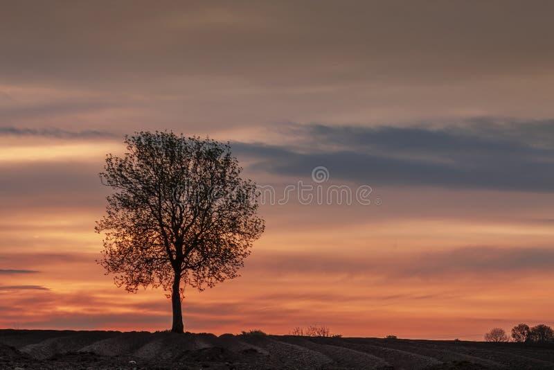 Ensamt träd som tas på en sommarsoluppgång fotografering för bildbyråer