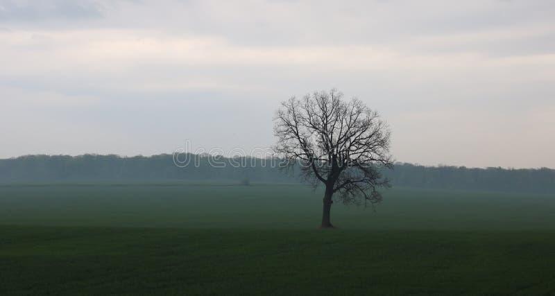 Ensamt träd utan sidor i vår i fält på grönt gräs i molnigt väder arkivfoto