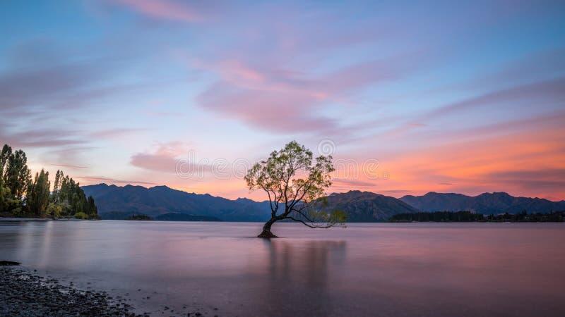 Ensamt trädanseende i sjön Wanaka som är nyazeeländsk på solnedgången royaltyfri foto