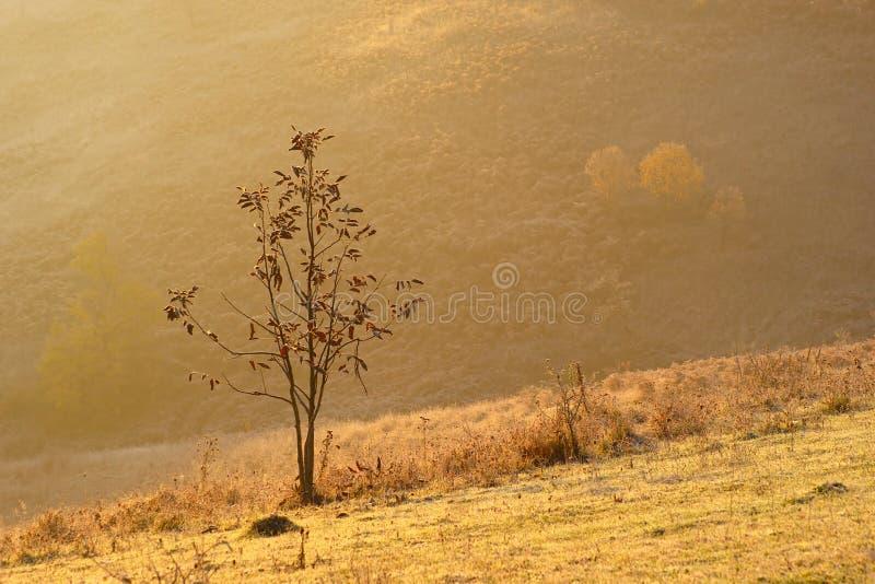 Ensamt ungt Wallnut träd i höst royaltyfri bild