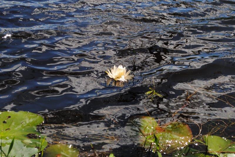 Ensamt vatten Lilly på ett krabbt vatten arkivfoto
