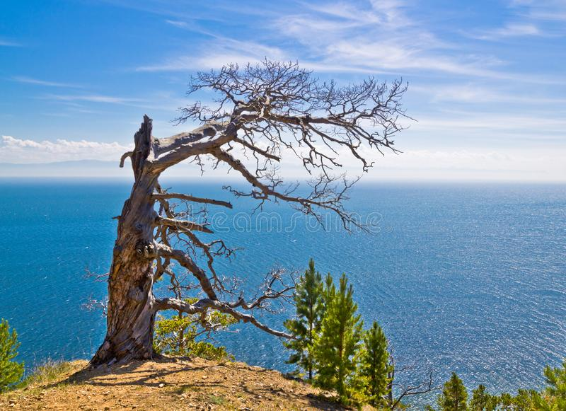Ensamt visset träd på berget ovanför havet under den blåa himlen royaltyfria foton