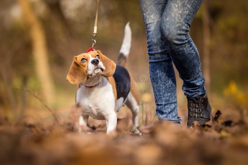 Enseñanza de su perro caminar en un correo fotos de archivo libres de regalías