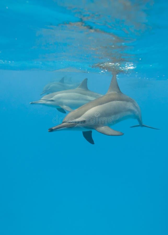Enseñar delfínes salvajes del hilandero. imagen de archivo libre de regalías