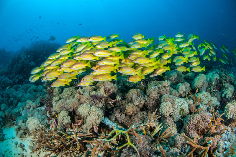 Enseñar kasmira del Lutjanus de los mordedores del bluestripe en Gili, Lombok, Nusa Tenggara Barat, foto subacuática de Indonesia imagenes de archivo