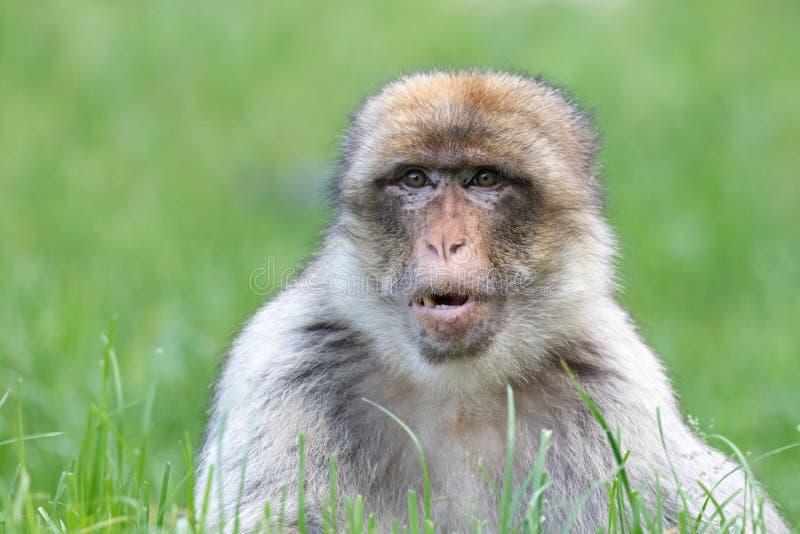 Enseende Macaque i långt gräs royaltyfri foto
