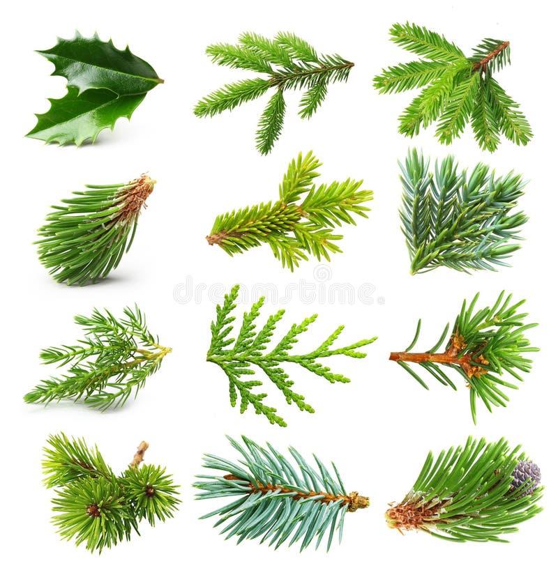 Ensemble à feuilles persistantes de branche d'arbre photo stock