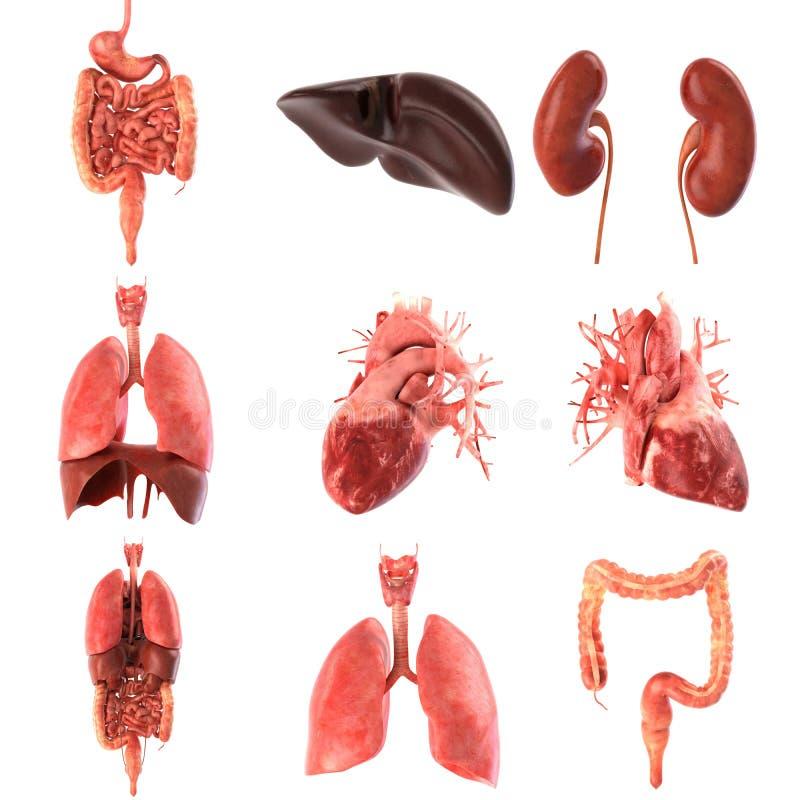 Ensemble anatomiquement précis interne humain d'organes rendu 3d illustration libre de droits