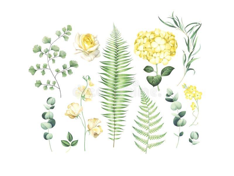 Ensemble botanique de branches d'eucalyptus, de fougère et de fleurs jaunes d'isolement sur le fond blanc illustration stock