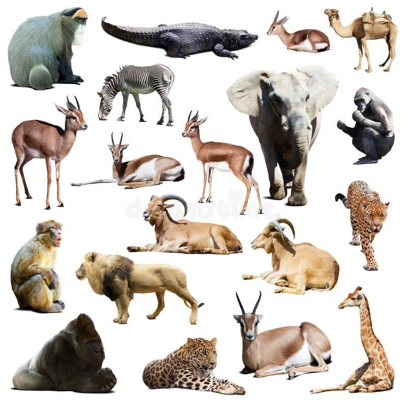 Ensemble d'animaux africains D'isolement sur le blanc photographie stock libre de droits