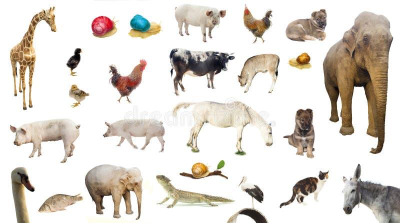 Ensemble d'animaux sauvages et domestiques de ferme image stock