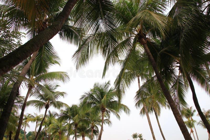Ensemble d'arbre de noix de coco d'isolement sur le fond blanc photographie stock