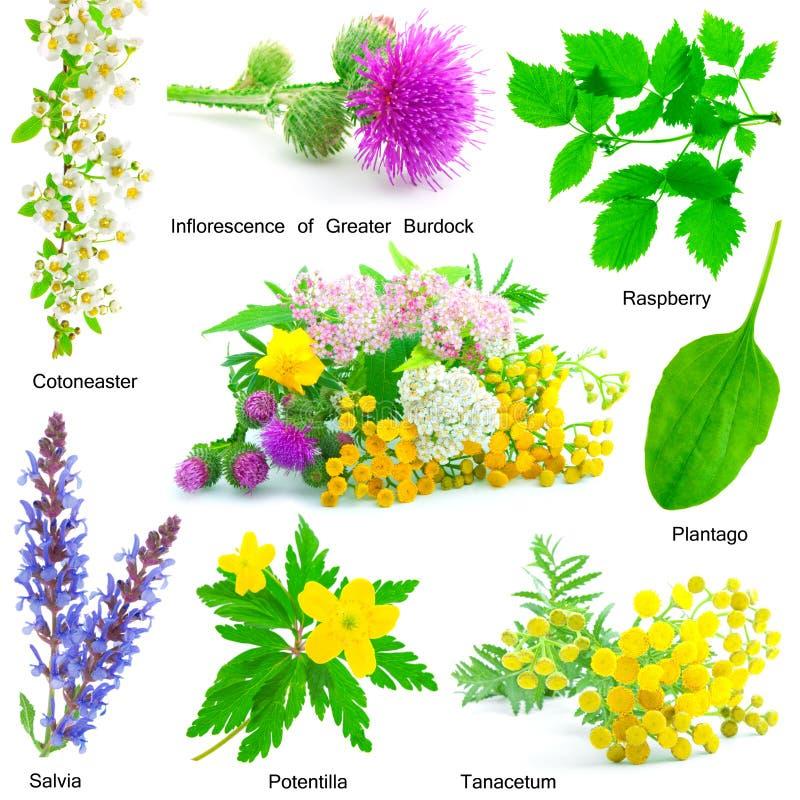 Ensemble d'herbe medicative photographie stock
