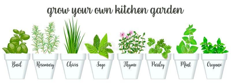 Ensemble d'herbes culinaires dans des pots blancs avec des labels Basilic croissant vert, sauge, romarin, ciboulette, thym, persi illustration de vecteur