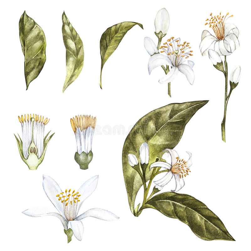 Ensemble d'illustration botanique d'aquarelle tirée par la main des citrons jaunes frais Élément pour la conception des invitatio image stock