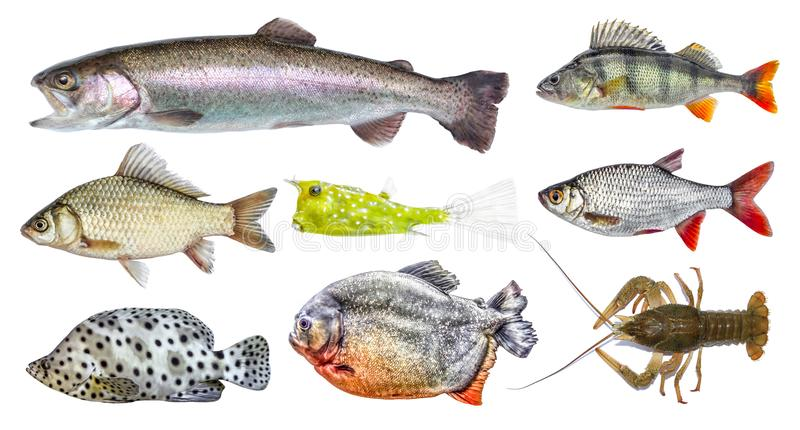Ensemble d'isolement de poissons, collection Vue de côté du poisson frais vivant image stock