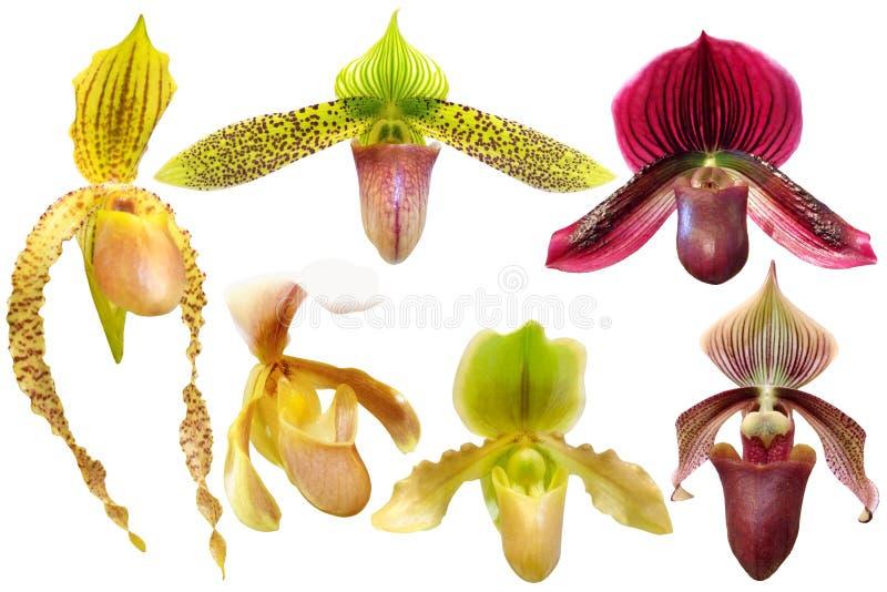 Ensemble d'orchidée de Paphiopedilum d'isolement image stock