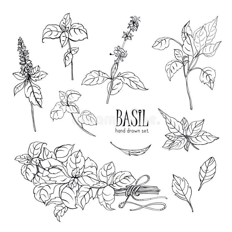 Ensemble d'usine de basilic Collection tirée par la main de découpe Illustration de vecteur illustration libre de droits