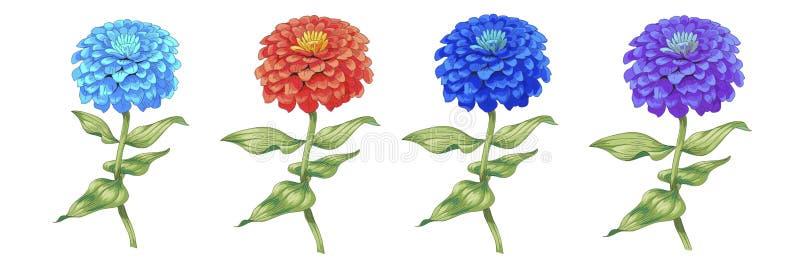Ensemble de beau zinnia de fleurs d'isolement sur le fond blanc Un grands bourgeon et inflorescence sur une tige avec les feuille illustration stock