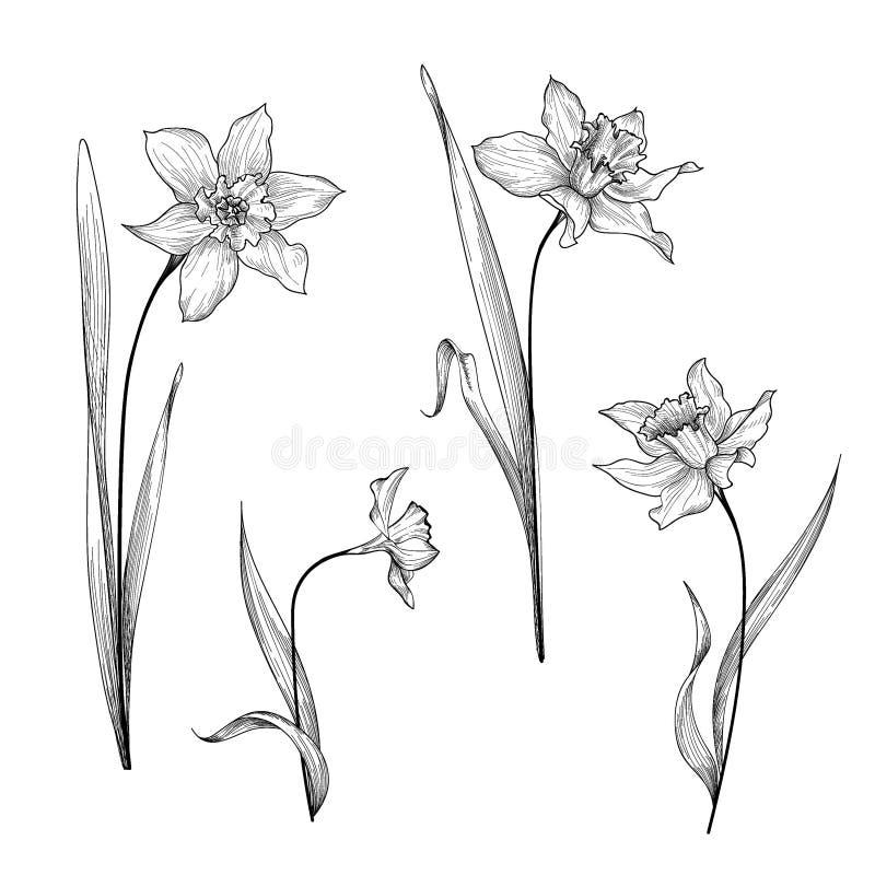 Ensemble de bouquet floral Backgrou botanique de gravure de jonquille de fleur illustration libre de droits