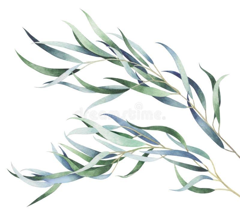 Ensemble de branches d'eucalyptus d'isolement sur le fond blanc Illustration d'aquarelle illustration de vecteur