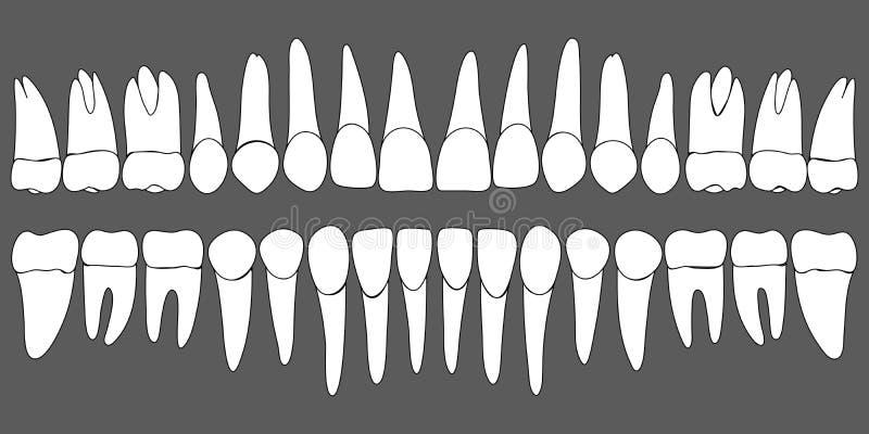Ensemble de calibre dentaire de dents humaines illustration stock