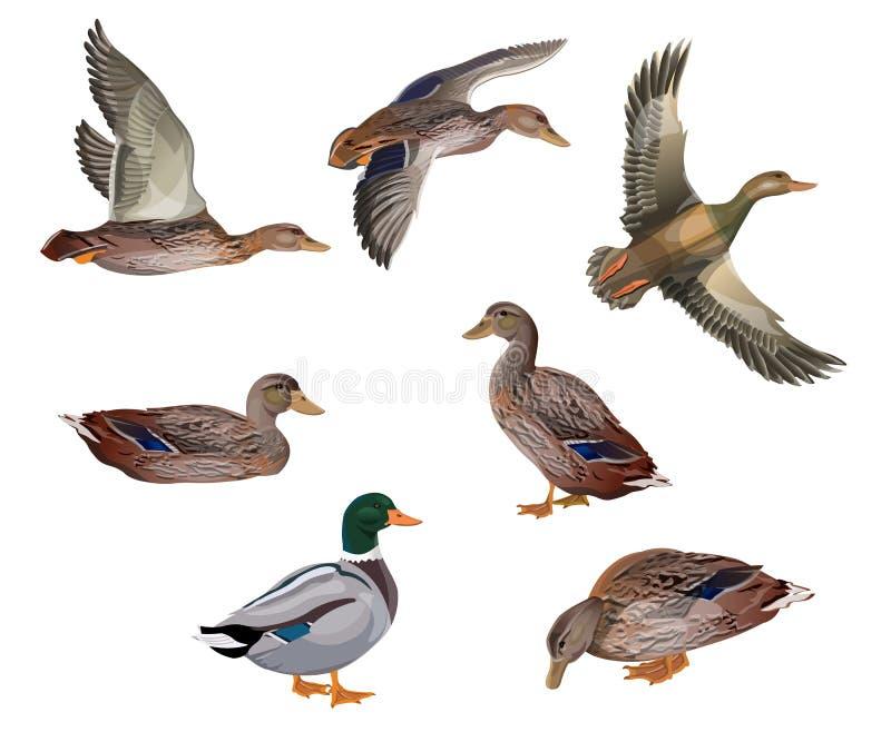 Ensemble de canards illustration libre de droits