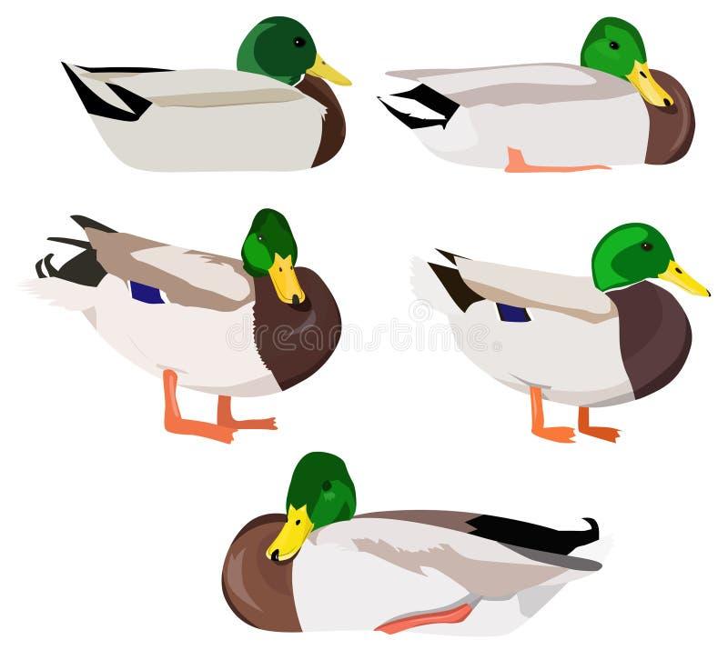 Ensemble de canards sauvages illustration stock