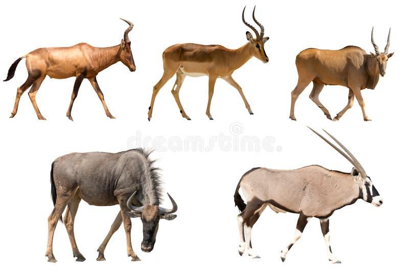 Ensemble de cinq antilopes différentes photographie stock libre de droits