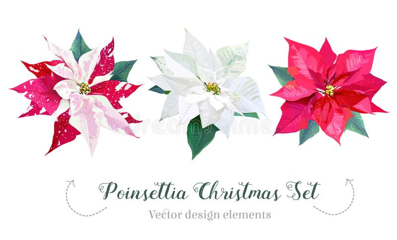 Ensemble de conception de vecteur de sélection de poinsettia de Noël illustration stock