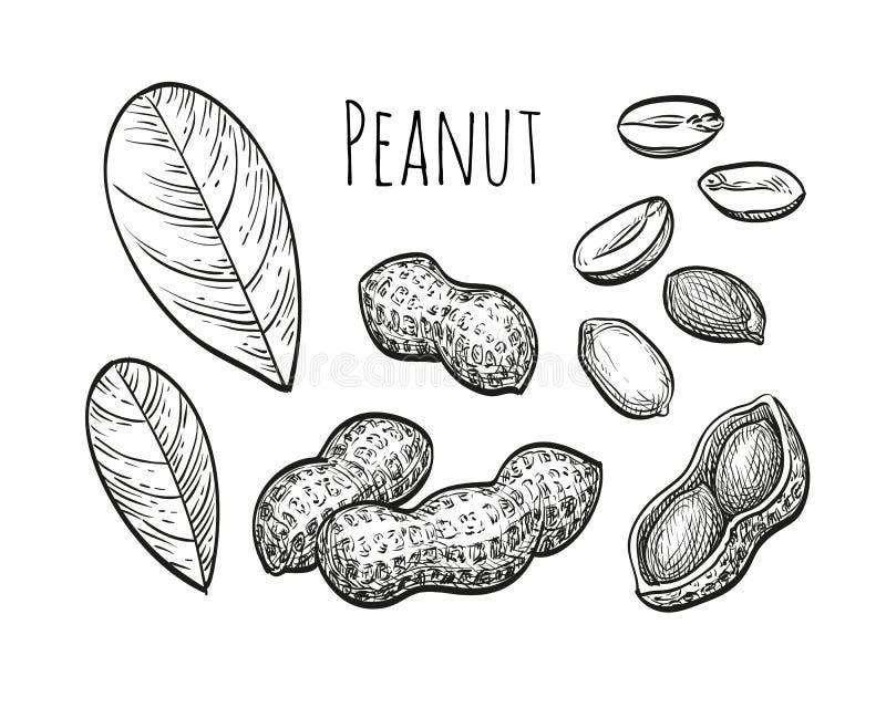 Ensemble de croquis d'arachide illustration de vecteur